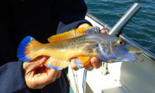 Cuckoo Wrasse caught in Poole Dorset